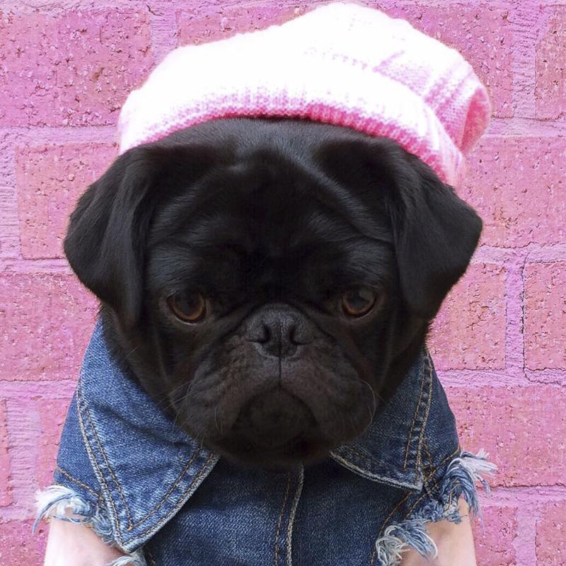 Gigi's Social Pug Profile | www.thepugdiary.com
