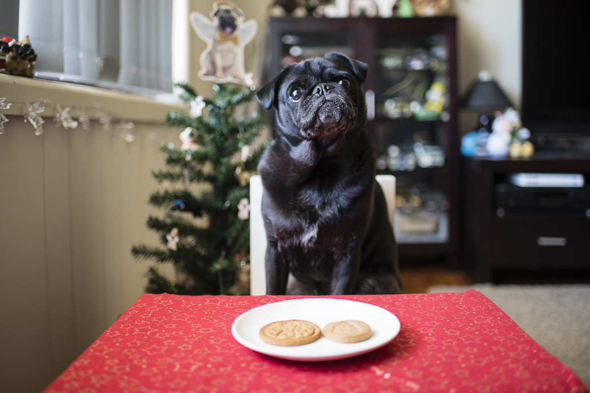 Ginger Cookies Dog Treat Recipe | www.thepugdiary.com