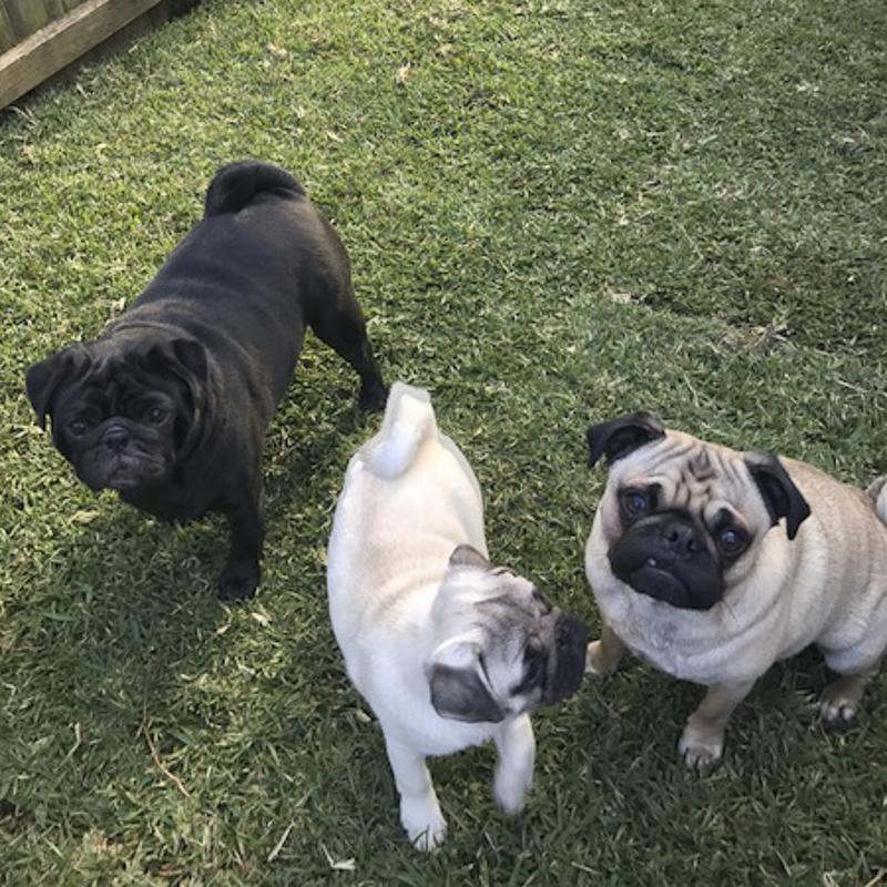 Harley, Lola & Mabel's Social Pug Profile | www.thepugdiary.com