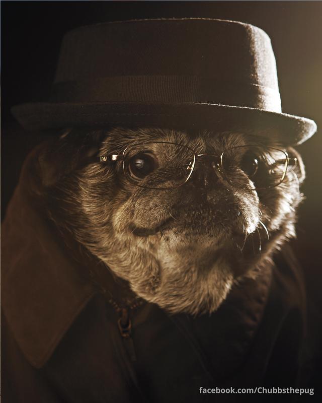 Chubby the Wampug's Social Pug Profile   www.thepugdiary.com