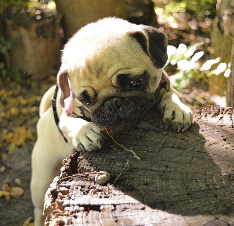 Hera's Social Pug Profile | www.thepugdiary.com