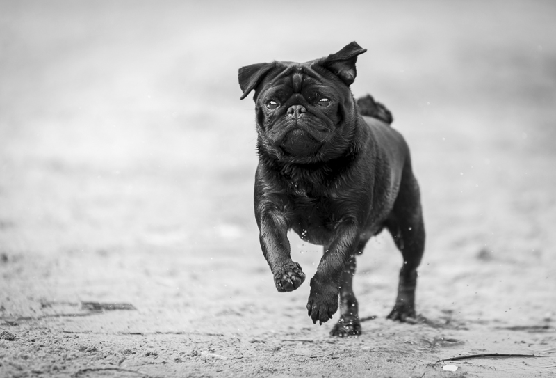 How Canine Massage Therapy Can Help Your Pug with Hip Dysplasia | www.thepugdiary.com