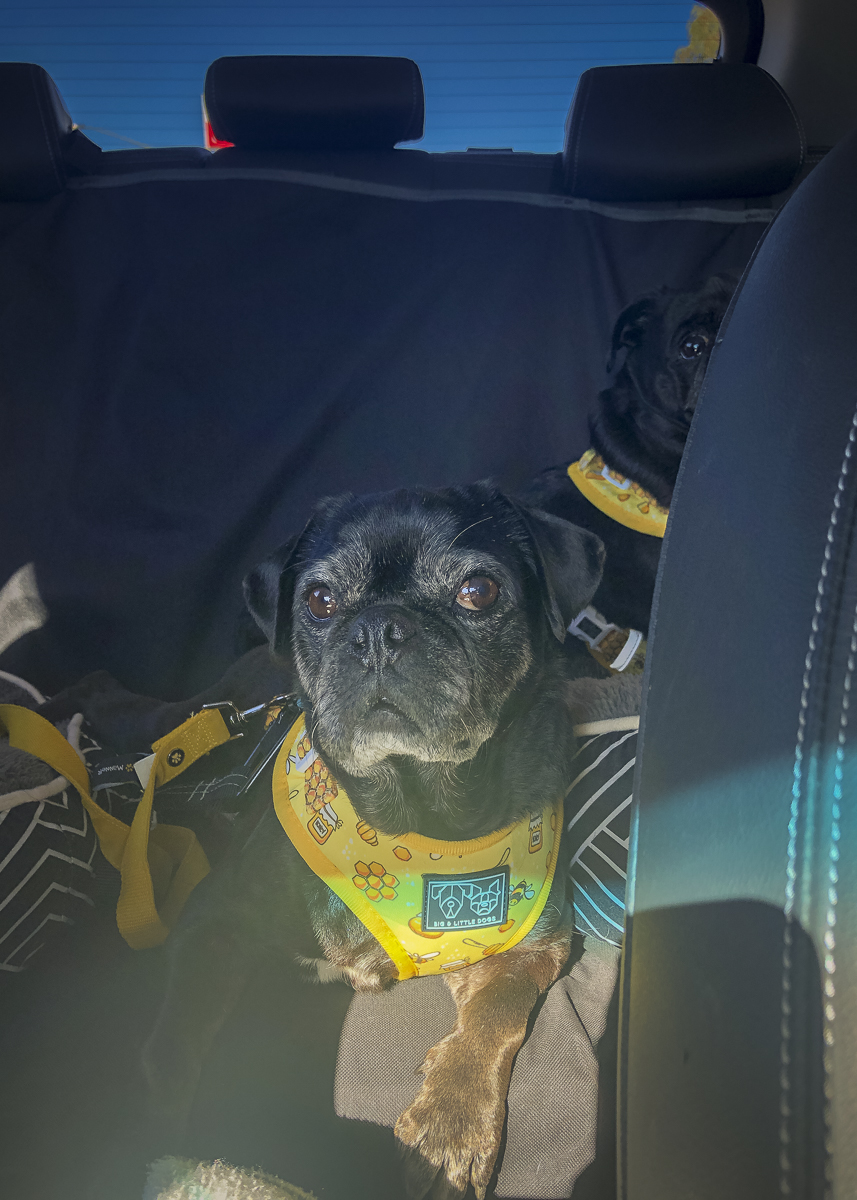 How Essential Oils Helped My Pug's Car Anxiety | www.thepugdiary.com