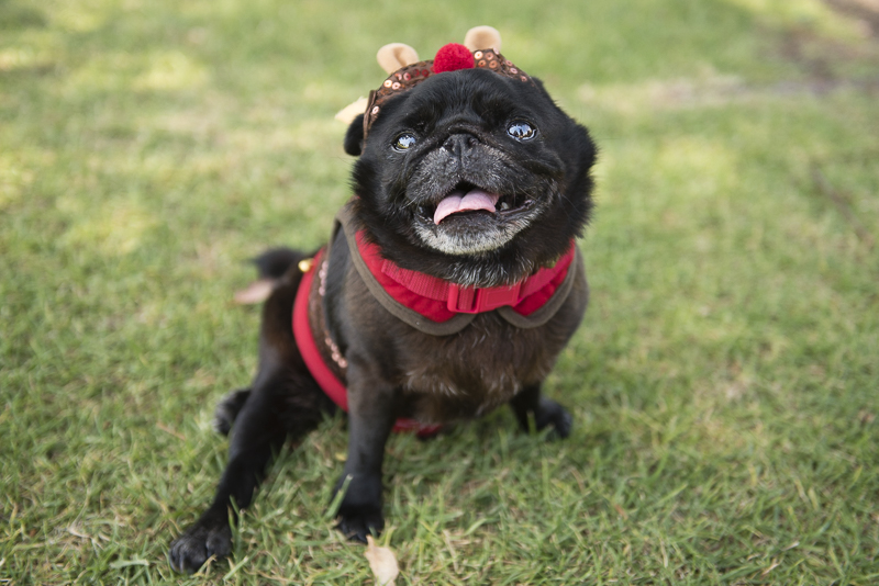 How to Organise a Fundraising Pug Meet Event for Charity   www.thepugdiary.com
