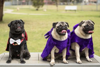How to Organise a Fundraising Pug Meet Event for Charity | www.thepugdiary.com