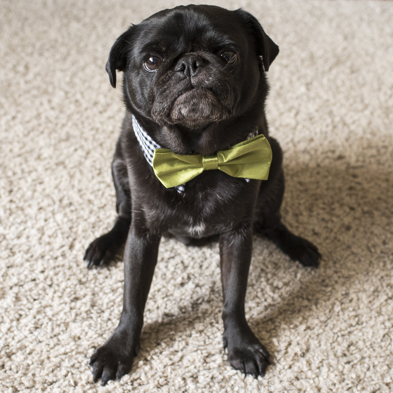 How to Get Your Pug to Look at the Camera | www.thepugdiary.com