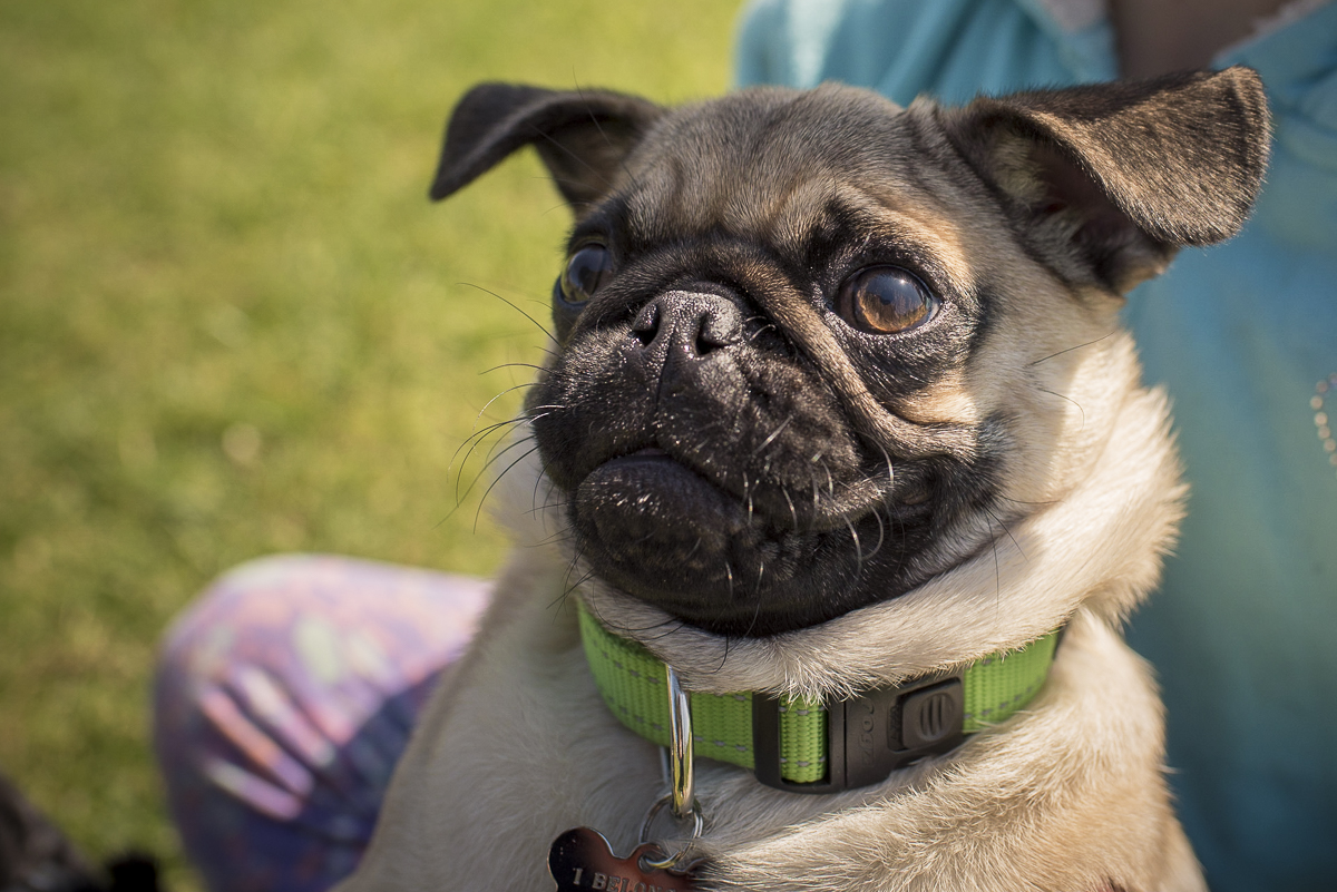 How to Organise a Pug Meet Up Group in Your Local Area | www.thepugdiary.com