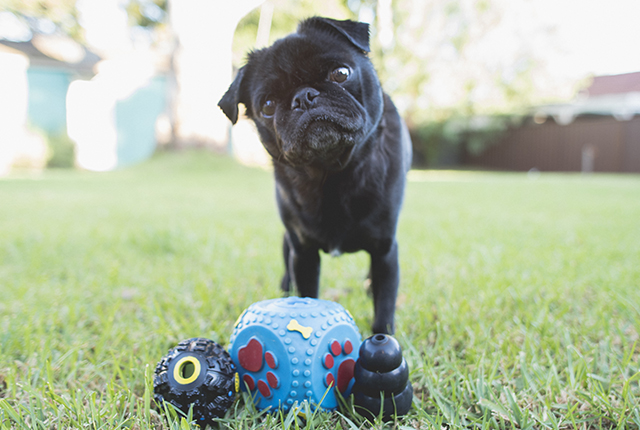 Importance of Enrichment for Pugs | www.thepugdiary.com