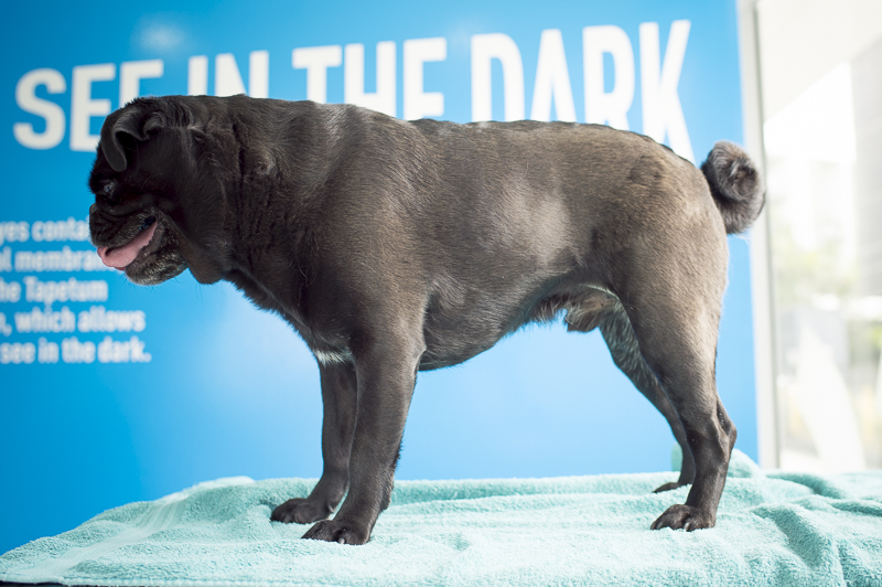 Is Your Pug Overweight? How to Tell + What to Do   www.thepugdiary.com