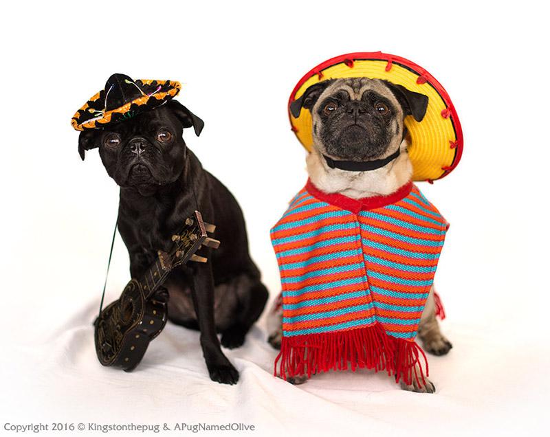 Kingston & Olive's Social Pug Profile | www.thepugdiary.com
