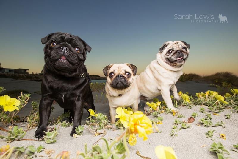 Pugs of Perth: Lexie, Jax + Reggie by Sarah Lewis Photography | www.thepugdiary.com