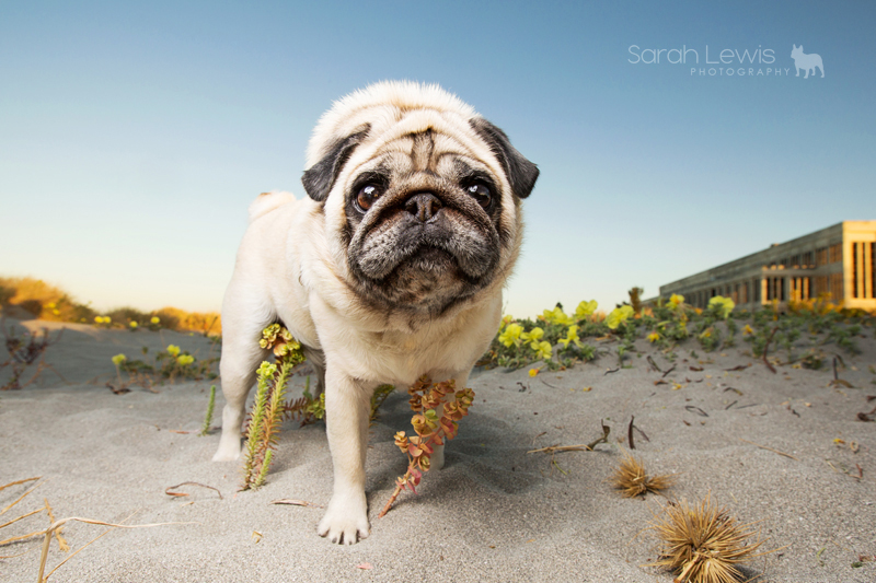 Pugs of Perth: Lexie, Jax + Reggie by Sarah Lewis Photography | www.thepugdiary.com