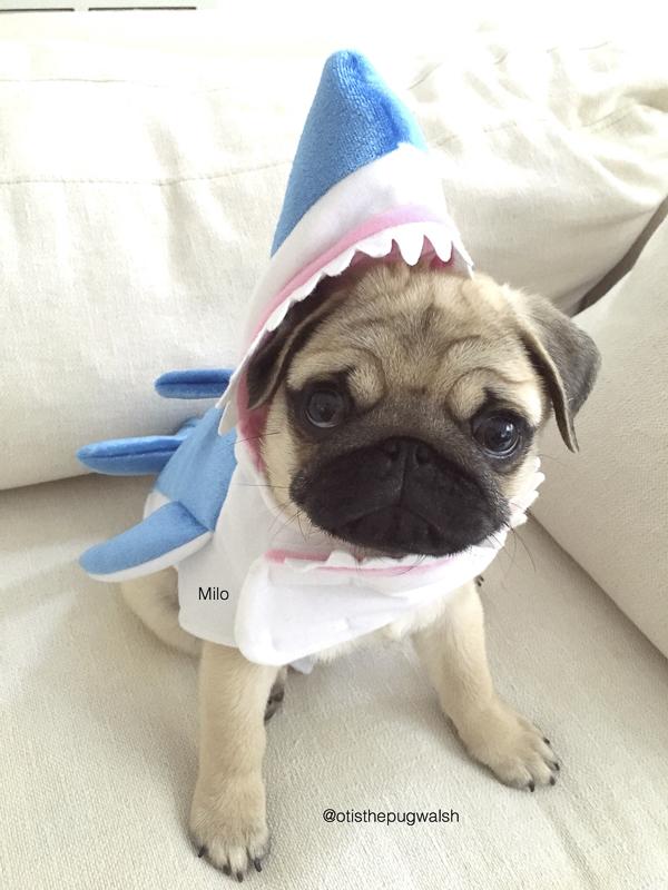 Milo's Social Pug Profile | www.thepugdiary.com