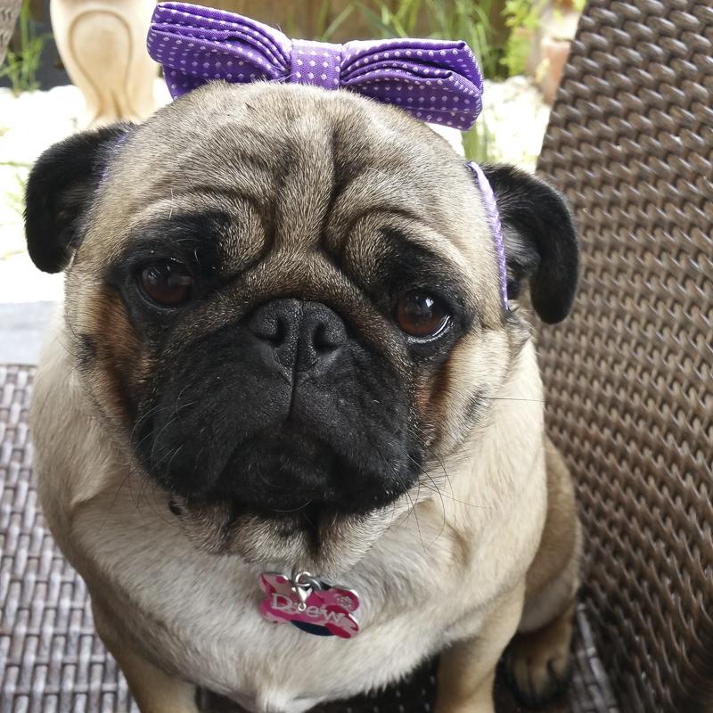 Miss Drew's Social Pug Profile | www.thepugdiary.com