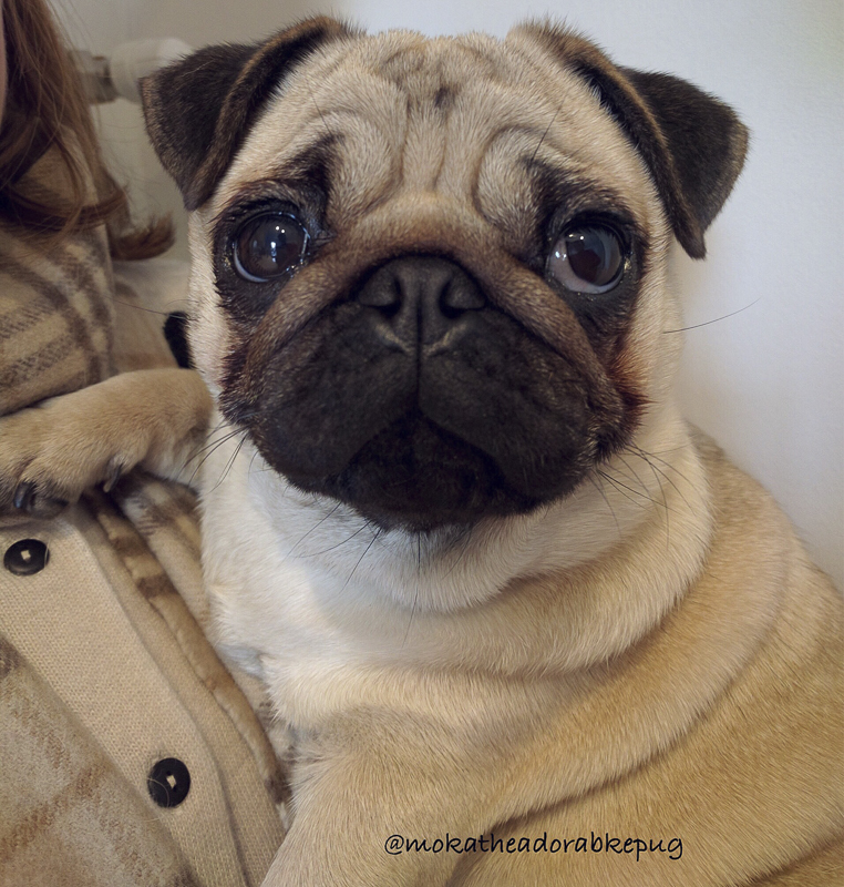 Moka the Adorable Pug's Social Pug Profile | www.thepugdiary.com