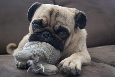 Morty's Social Pug Profile | www.thepugdiary.com