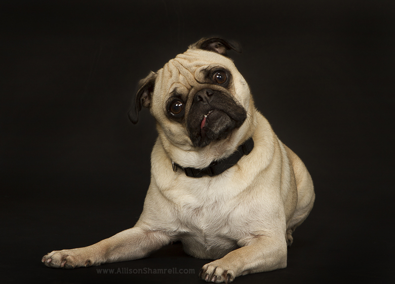 Mr. Big's Pug Photography Session by Allison Shamrell Pet Photography | www.thepugdiary.com