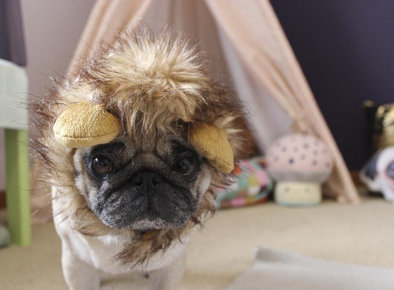 Nanna's Social Pug Profile | www.thepugdiary.com