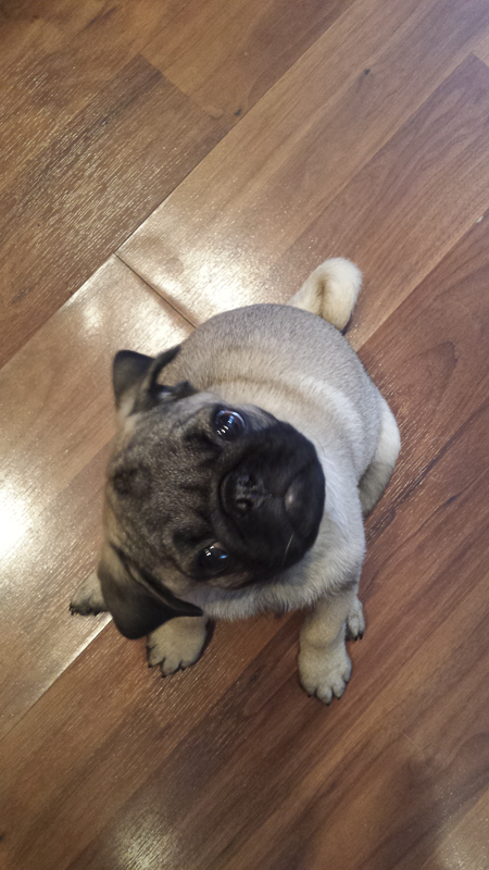 Nigel the Pug's Social Pug Profile | www.thepugdiary.com