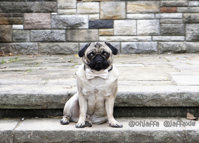 Jaffa's Social Pug Profile | www.thepugdiary.com
