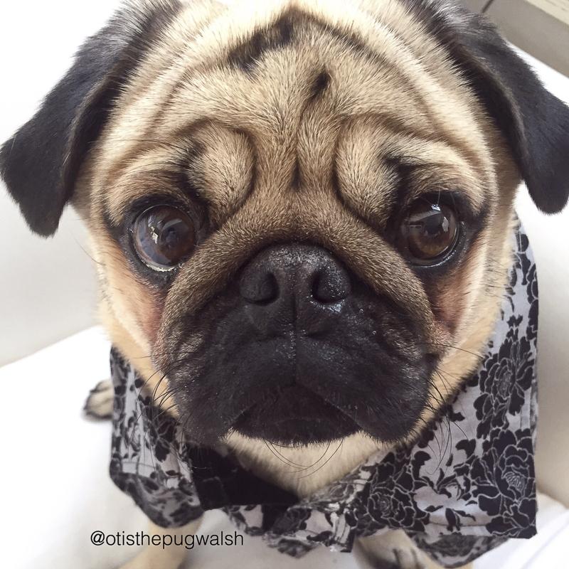 Otis the Pug Walsh's Social Pug Profile | www.thepugdiary.com