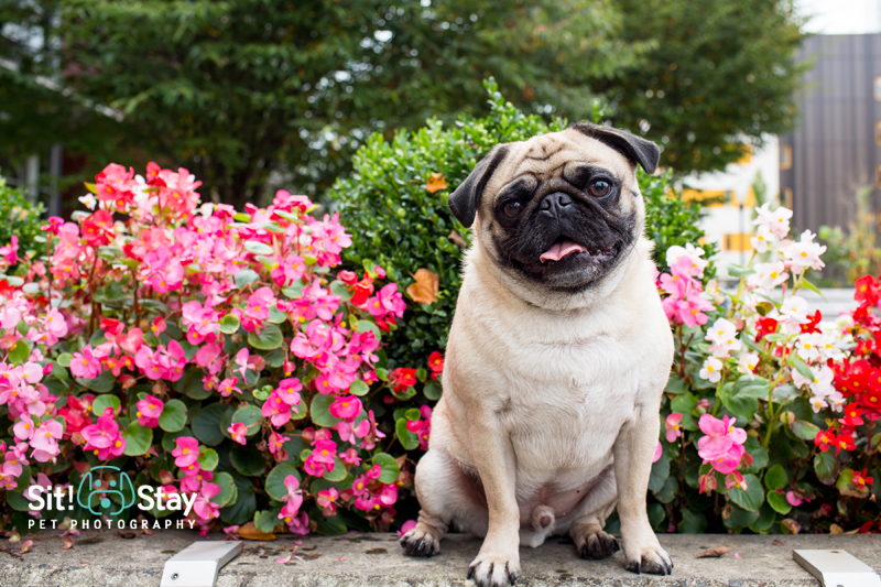 Smell the Roses! Otis by Sit! Stay Pet Photography | www.thepugdiary.com