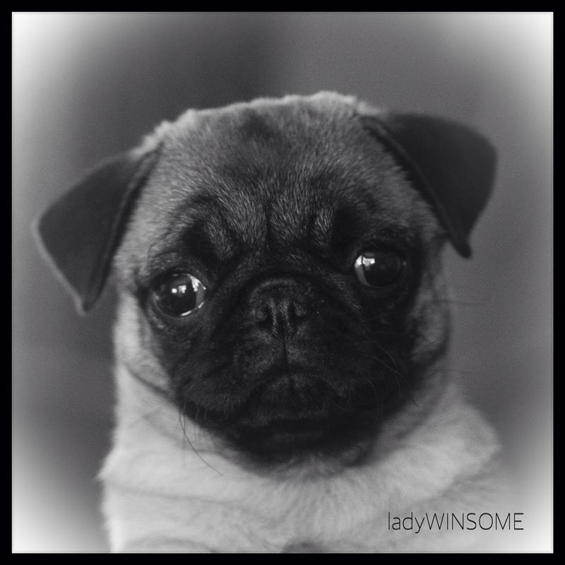 Phineas + Winsome's Social Pug Profile | www.thepugdiary.com