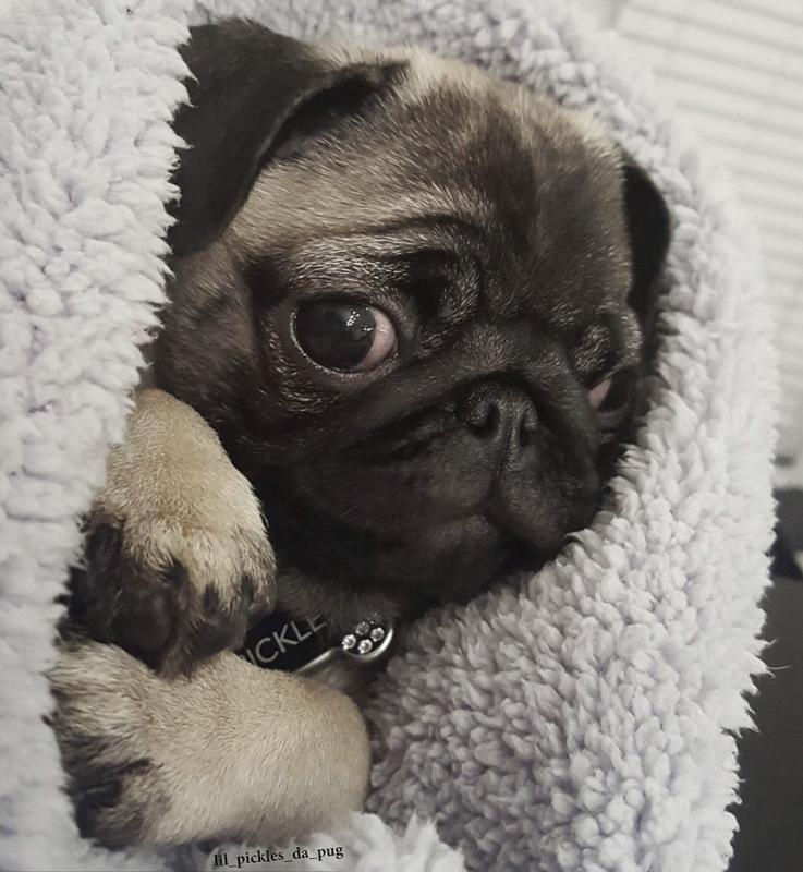 Pickle's Social Pug Profile | www.thepugdiary.com