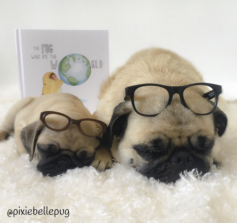 PixieBelle + LulaBee Social Pug Profile | www.thepugdiary.com