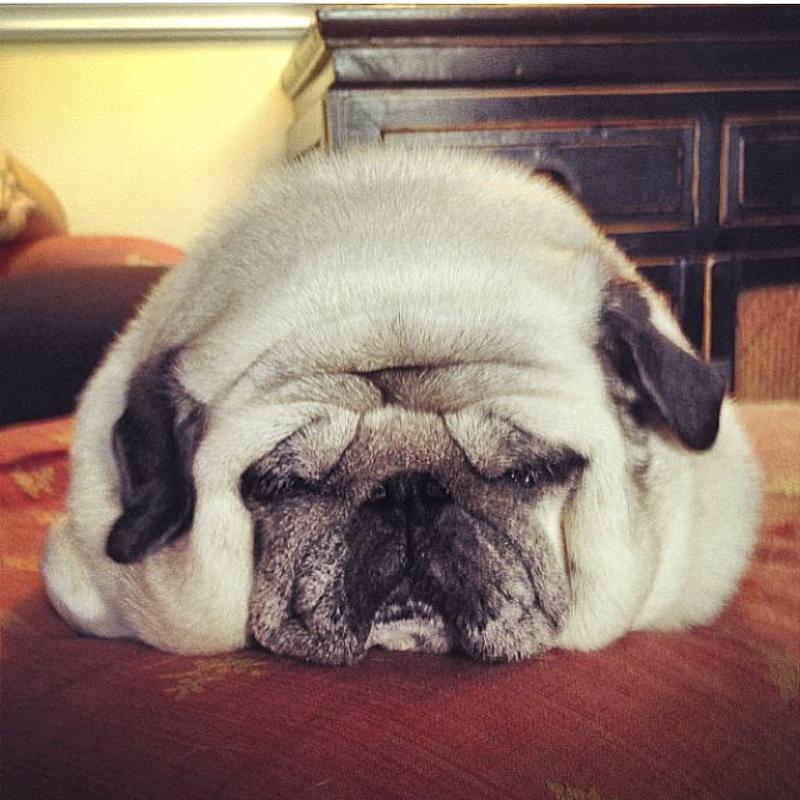 Posy's Social Pug Profile   www.thepugdiary.com