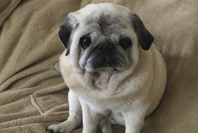 Posy's Social Pug Profile | www.thepugdiary.com