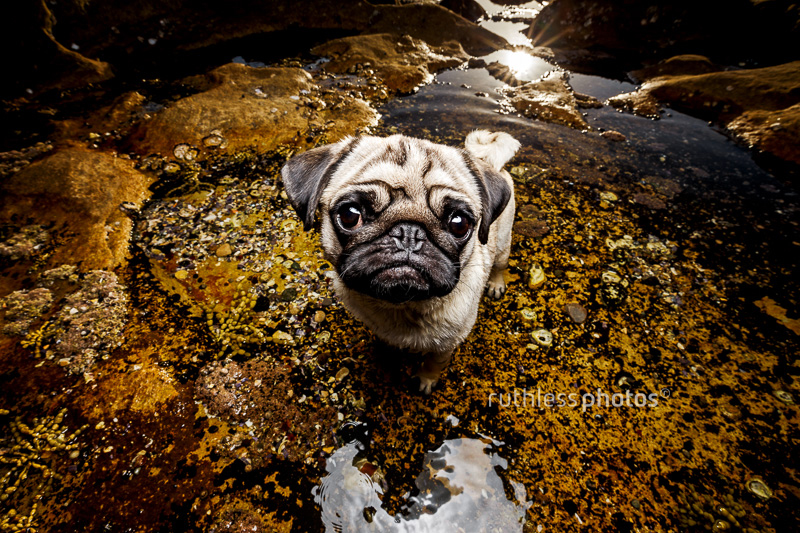 Prudence Flower's Pug Photography Session by Ruthless Photos | www.thepugdiary.com