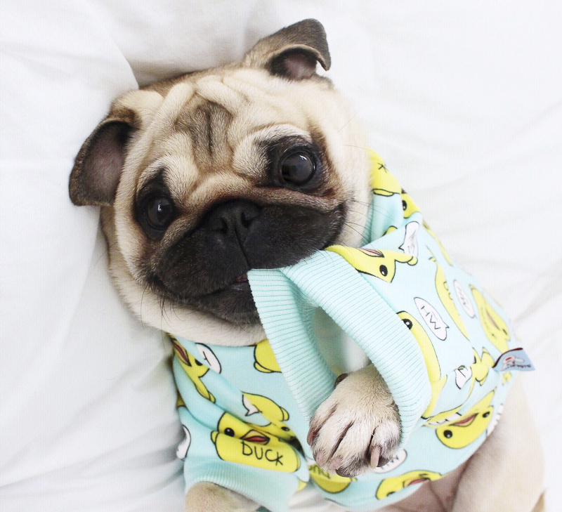 Loulou's Social Pug Profile Interview | www.thepugdiary.com
