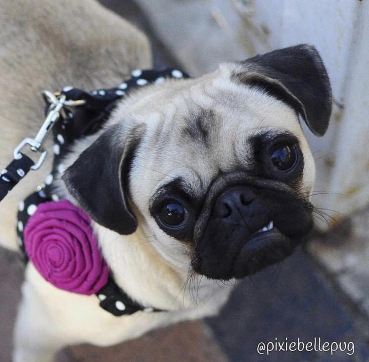 Susan's Pug Parent Profile | www.thepugdiary.com