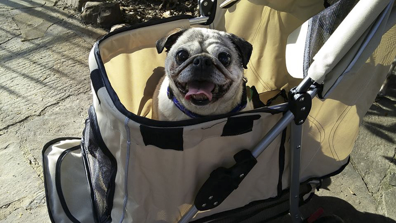 Pug Rescue Profile of Homeward Bound Pugs | www.thepugdiary.com