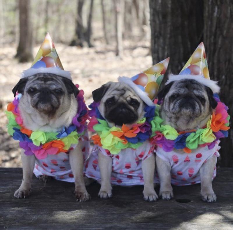 Pugdashians Social Pug Profile | www.thepugdiary.com