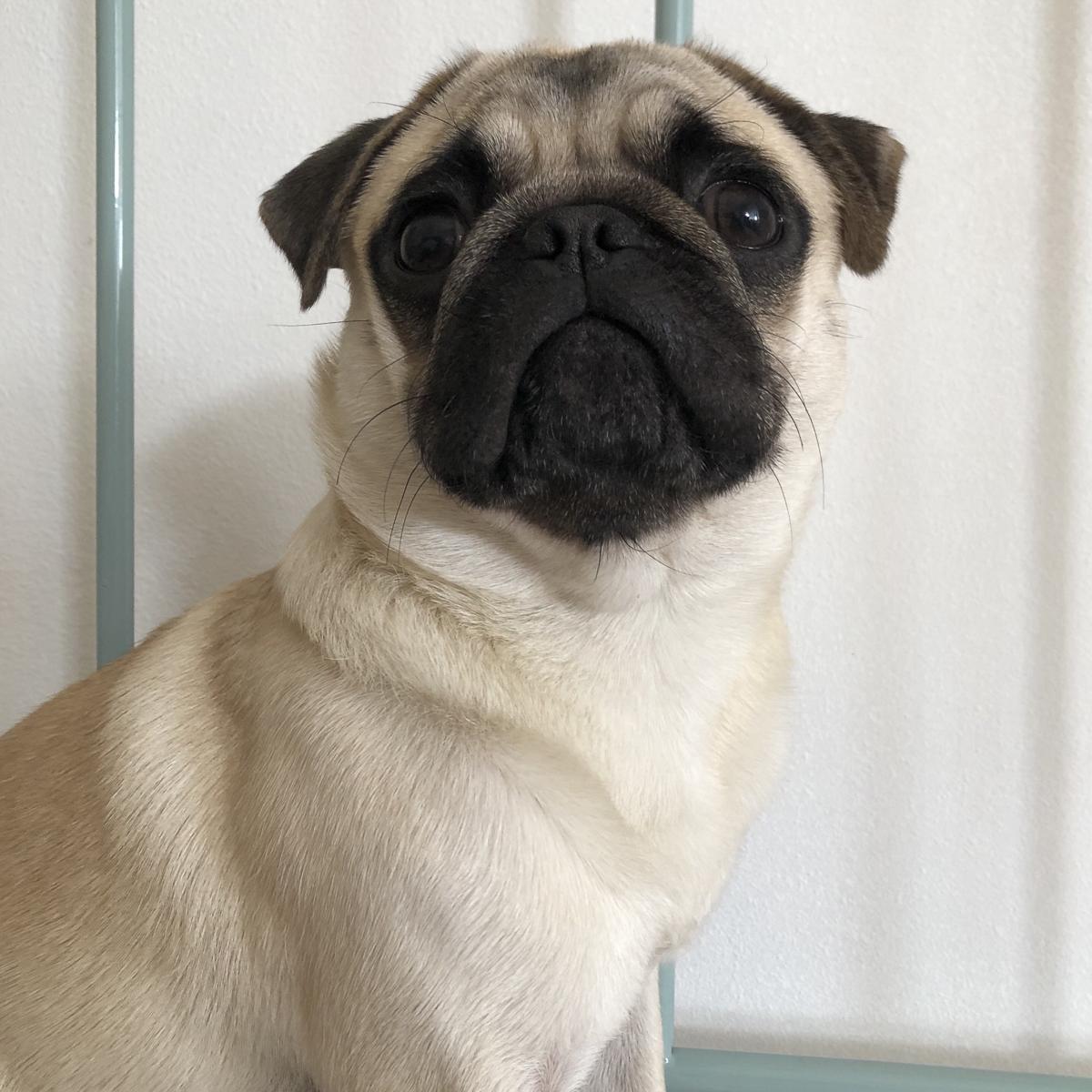 Pugitto's Social Pug Profile | www.thepugdiary.com