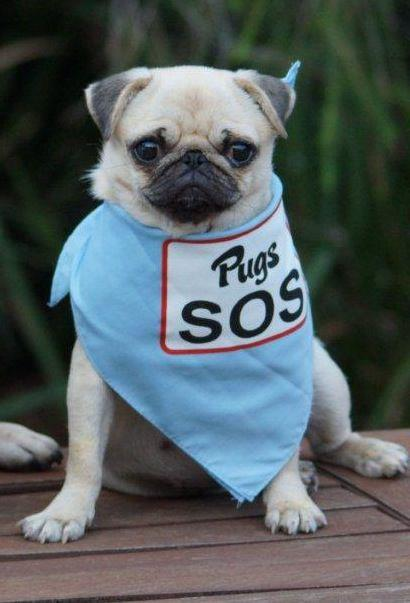 Pugs SOS's Pug Rescue Profile | www.thepugdiary.com