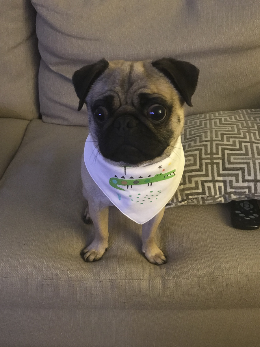 Pugsley's Social Pug Profile | www.thepugdiary.com