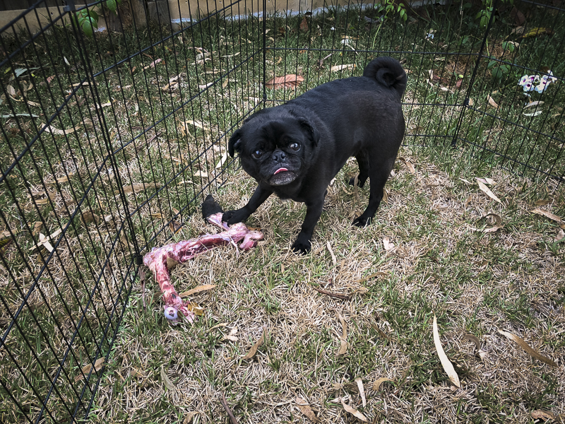 Raw Feeding for Pugs: Bones | www.thepugdiary.com