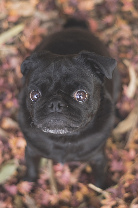 The Pug Diary's 2016 Annual Reader Survey | www.thepugdiary.com