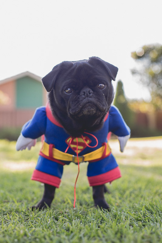 10 Must Have Costumes For Dress Up Your Pet Day The Pug Diary