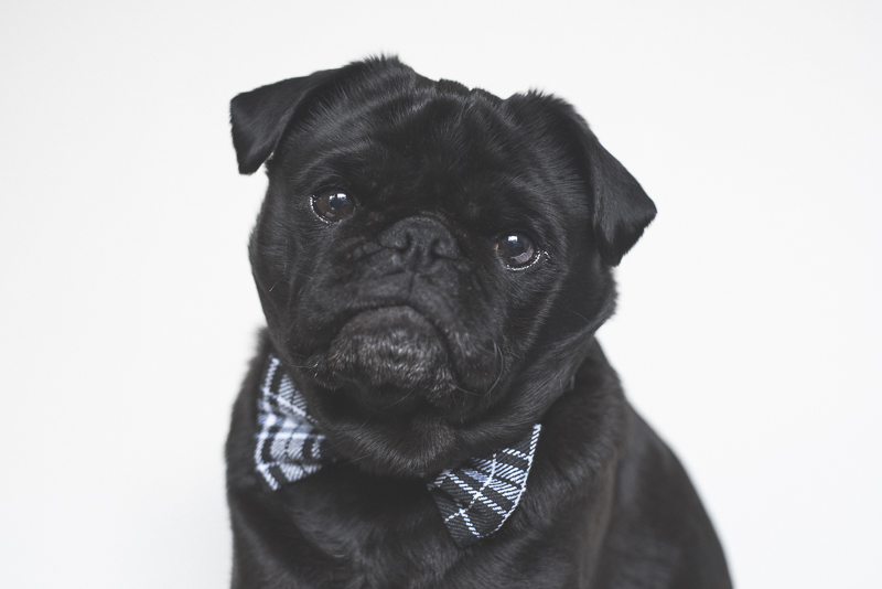 Ref_the_Pug_by_Kristy_Beck_07092015_0026