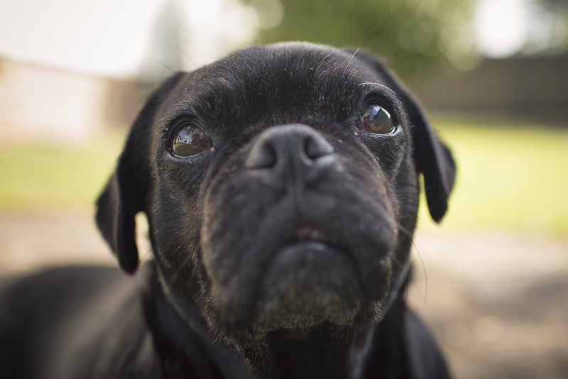 How You Can Change the Life of a Rescue Pug | www.thepugdiary.com