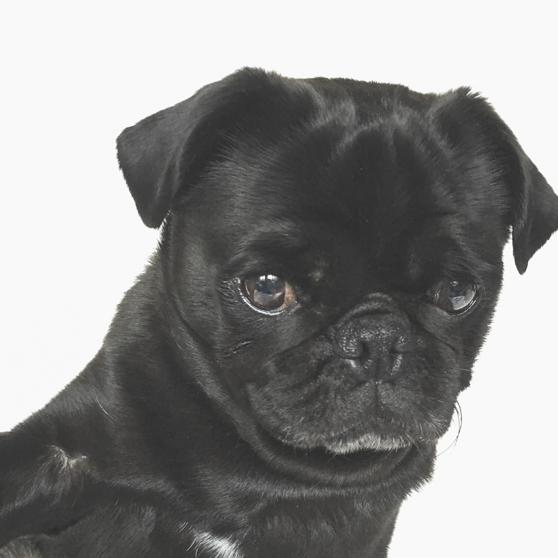 How to Take a Pet Selfie of Your Pug | www.thepugdiary.com