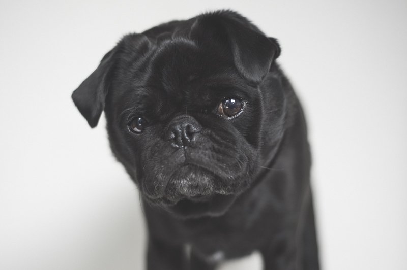 Brachycephalic & What it Means for Your Pug? | www.thepugdiary.com