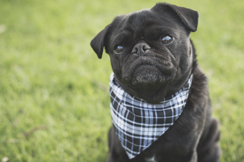 Ref_the_Pug_by_Kristy_Beck_21092015_0019
