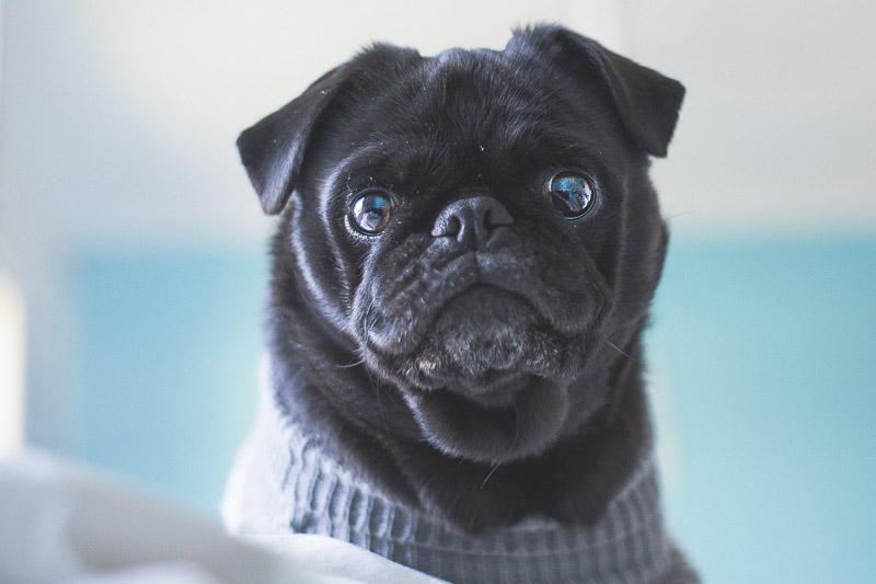 5 Simple Tips for Indoor Pug Photography | www.thepugdiary.com