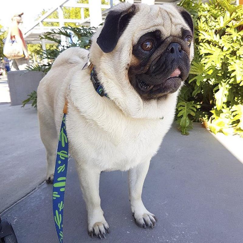 Reggie's Social Pug Profile | www.thepugdiary.com