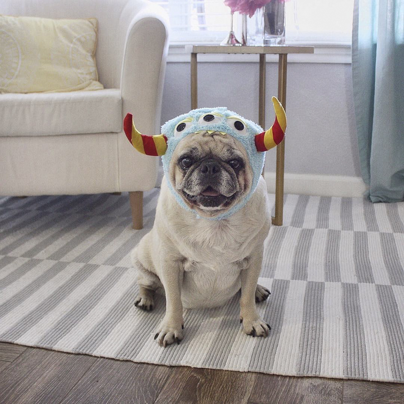 Pugtender Rocco's Social Pug Profile | www.thepugdiary.com